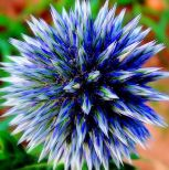Globe Thistle ~ Vibrant violet blue with globe shaped flowers on long stemmed silvery blue foliage. Very striking as a cut flower and holds its blue color amazingly well after drying. Grows in any soil as long as it is well drained.